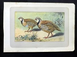 Mahler 1907 Antique Bird Print. La Perdrix Rouge. Red Partridge
